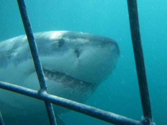 Save The Great White Shark