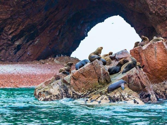 Leões Marinhos nas Ilhas Ballestas, Paracas