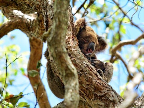 Coala no Coombabah Lake Conservation Park