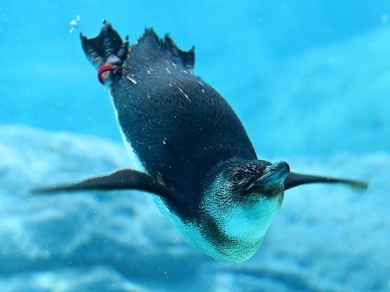 Pinguim no Aquário de Sydney