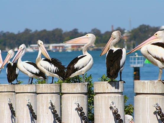 Pelicanos no terminal Brett's Wharf