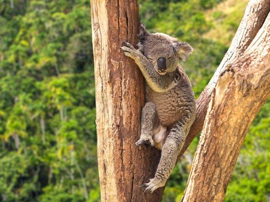 Coala no Lone Pine Koala Sanctuary