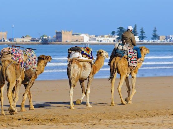 Camelos caminhando pela praia de Essaouria, Marrocos