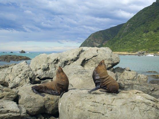 Lobos marinhos na Península de Kaikoura, Nova Zelândia