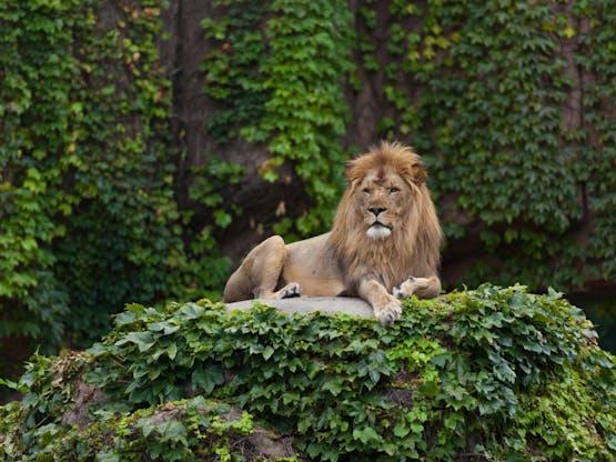 Leão no Lincoln Park Zoo. Chicago, EUA