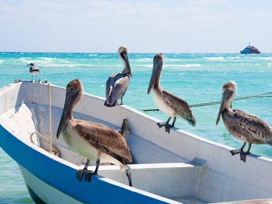 Pelicanos. Playa del Carmen, México